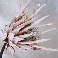 "Today on, ""can it be dried?"" We have King Protea! Once pure white, this gorgeous flower dries a pale coral. Perfect for 2019 Pantone color of the year. Protea Art, Protea Bouquet, Protea Flower, Simple Flowers, Dried Flowers, Wedding Flower Design, King Protea, Dried Flower Arrangements, Floral Photography"