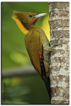 Yellow Naped Woodpecker