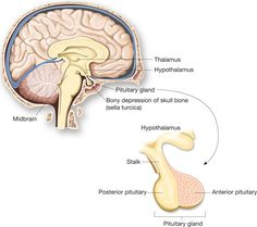 The endocrine system is a series of glands that can be understood as the body's government.These endocrine glands produce your hormones, steroids, and. Anterior Pituitary, Pituitary Gland, Pineal Gland, Brain Anatomy, Anatomy And Physiology, Adrenal Health, Brain Health, Human Body Facts, Cushing Disease