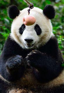 panda eat apple.