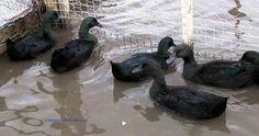 cayuga Ducks / Domestic waterfowl Club