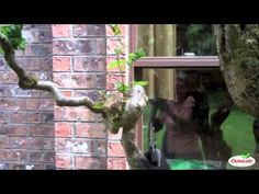 How to Prune Contorted Filbert Trees