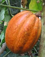 Logee's Tropical Plants Blog: How to Grow a Chocolate Plant