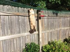 Cat Containment Fence One Reader Shares How He Contains His Ragdoll Cat Harry Ragdoll Cat Simon 3 Outside Cat Enclosure, Cats Outside, Cat Fence, Cat Run, F2 Savannah Cat, Cat Garden, Balcony Garden, Outdoor Cats, Cat Behavior