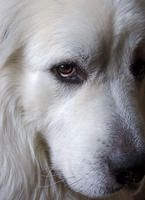 How To Make Puppy Training An Easy Process. Sadly, many people rush out to buy a pet without prior consideration. Dogs need a commitment from you. All dogs need training to know what is acceptable be Pet Dogs, Dogs And Puppies, Dog Cat, Doggies, Maremma Sheepdog, Great Pyrenees Dog, Wild Dogs, Mountain Dogs, Dog Photos