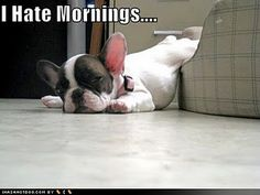 Hate mornings. French bulldogs love to sleep downhill, section shot
