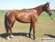 Polish Half-Bred Horse - mare P-Sekta