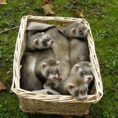 A basket of baby ferrets! http://www.pinterest.com/dianaecazares/ferrets/