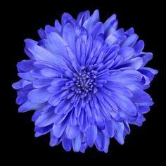 Single Deep Blue Chrysanthemum Flower Isolated over Black Background. Beautiful Dahlia Flowerhead Macro Stock Photo - 9710803