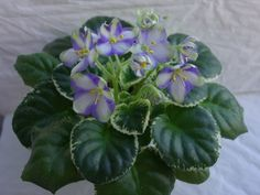 Ko-s Green Dragonfly House Plants, Foliage, Orchids, Green, Planting Flowers, African Violets