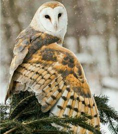 Le plumage de la chouette Effraie // Barn Owl by Patricia Toth - Plus Vida Animal, Especie Animal, Beautiful Owl, Animals Beautiful, Cute Animals, Owl Photos, Owl Pictures, Owl Bird, Pet Birds