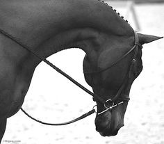 Is there anything more lovely than the graceful curve of a horse's neck beautifully framed with braids, reins and bridle? Horse Photos, Horse Pictures, Horse Love, Horse Girl, Hunter Horse, Ponies For Sale, Equestrian Style, Equestrian Problems, Horse Riding