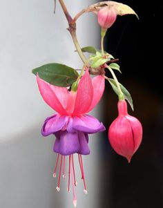 The Tough Task of Caring for Fuchsias - Country Living