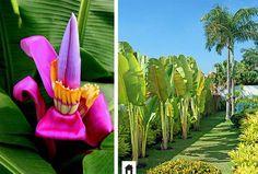 Bananeira ornamental, conheça esta e mais 25 plantas resistentes ao sol.