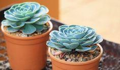 Netřesk léčí bolavé uši, opary ikuří oka - Vitalia.cz Succulents, Plants, Aloe Vera, Future, Health, Grasses, Future Tense, Succulent Plants, Plant
