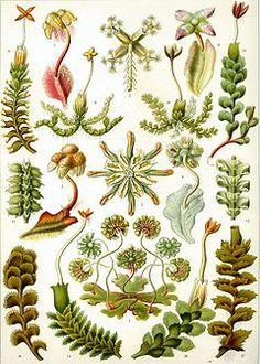 Detailed natural history illustration by a biologist/zoologist/naturalist/anatomist Ernst Haeckel