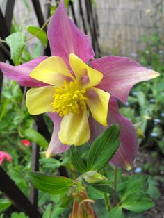 Aquilegia...completely charmed