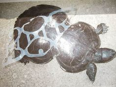 Ban Insidious Plastic Rings to Protect Wildlife | Please SIGN and share petition. Thanks.