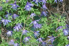 Photo of Clematis (Clematis macropetala 'Maidwell Hall'). Photo Location: My Garden on Photo Location, Clematis, Outdoor Gardens, Bloom, Exterior, Plants, Gardening, Image, Lawn And Garden
