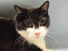 MULAN - A1060862 - - Manhattan ***TO BE DESTROYED 12/30/15*** MULAN'S OWNER MOVED AWAY AND ABANDONED HER IN HIS OLD APARTMENT SO SOMEONE FOUND HER AND BROUGHT HER TO THE ACC WHERE SHE CAUGHT A COLD AND WILL DIE FOR IT! MULAN is a 3 year old sweet girl who is already spayed. Her bad owner left her there when he moved, and someone in the building brought her to the shelter thinking she would be ok and get a new home. Sadly they were wrong – MULAN only caught the