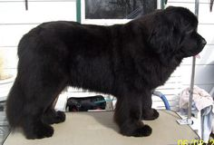 must get a newfie to snuggle with