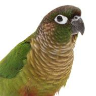 Playful, fun-loving, bold and inquisitive are all traits that describe a conure, but one word is true for them all: loud! Native to South America, conures come in all shapes and sizes, and depending on the conure, they range from an average of 9 to 21 inches long and have a life span of 20 to 30 years.
