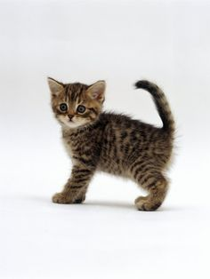Brown Tabby And Orange Tabby Short Haired Cats british shorthair tabby