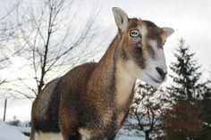 https://flic.kr/p/Dv5L9L | 086-20160124-Tierpark Goldau Pierce (30) | Tierpark Arth-Goldau, Animal Sanctuary and Park Arth Goldau, Switzerland