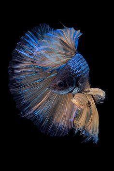 Beautiful Fish, Animals Beautiful, Cute Animals, Betta Fish Tattoo, Coral Life, Fish Artwork, Pet Fish, Tropical Beaches, Animal Wallpaper