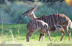 A cute baby nyala feeding @ Hluhluwe-Umfolozi Game Reserve in #SouthAfrica. See our #Hluhluwe-Imfolozi travel guide: http://www.safaribookings.com/hluhluwe