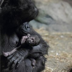 A mother's love: Pittsburgh Zoo welcomes baby boy gorilla.    How can you resist a face like that?