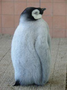 エンペラーペンギン 74日齢! : さして意味なし、面白くもなし