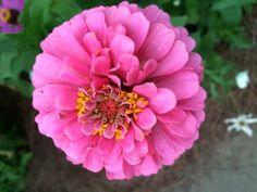Lots of pink Zinnia