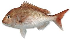 Picture of snapper i drew this is where my inspiration came from