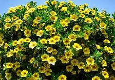 Картинки по запросу цветы ампельные