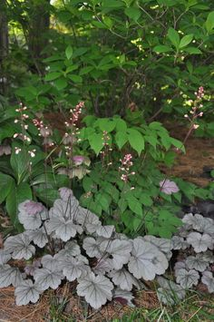 Heuchera 'Stainless Steel' - What a color! - http://www.plantsnouveau.com/heuchera-stainless-steel/