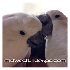 We are promoting the TASC Midwest Bird Expo from now until our event on May 11th 2013. Please help us spread the word! Share, repost, tweet, and pin our event.    Grab your $1 off admission flier at these events.     All Animal Expo - Wheaton, IL on:  Saturday  April 6th 10am – 3pm  Sunday  April 21st 10am – 3pm   Saturday  May 4th 10am – 3pm    Rolling Meadows Bird Show – Rolling Meadows, IL on:  Saturday  April 13th 10am – 3pm    Joliet Bird Show – Joliet, IL on  Sunday  April 28th 10am –…