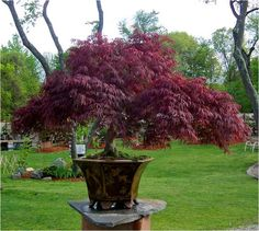 growing japanese maples in containers - Google Search
