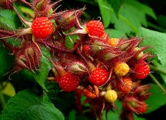 Rubus phoenicolasius (Wineberries or Japanese Wineberry), is a species of raspberry native to northern China, Japan, and Korea. Edible Plants, Edible Garden, Raising Quail, Garden Shop, Plant Species, Fruits And Veggies, Botany, Trees To Plant, Shrubs