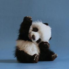 A tiny panda says 'Hi'!