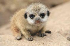 Baby Meerkat!