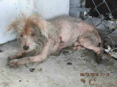 awesome Advocates rally to help pitiful eight-pound terrier stray out of Miami-Dade shelter