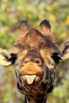 Baby giraffe sticking out his tongue at me when I said, Time to do your homework! Cute Baby Animals, Animals And Pets, Funny Animals, Smiling Animals, Wild Animals, Cute Giraffe, Giraffe Tongue, Giraffe Art, Giraffe Photos