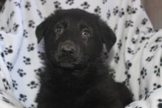 German Shepherd Puppies - This German shepherd puppy is for sale at http://www.network34.com