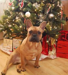 Christmas Frenchie, French Bulldog