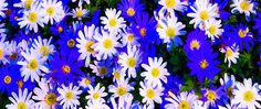 use copon GYKNN at checkoat for special discount Chrysanthemum Flower, Wildflowers, Plants, Flora, Plant, Wild Flowers