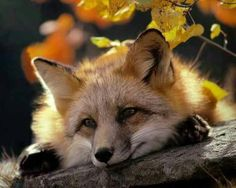 Fox Pondering on Life [Photo NOT taken by me have had it for years and don't know where I got it]