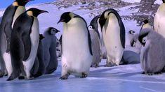 Pinguine sind im Wasser die Verkörperung von Eleganz, an Land eher so Slapstick