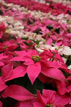 I ditto Michael Leach's funny but true sentiments -- Buy poinsettias annually then add the fading plants to the compost pile in the spring.