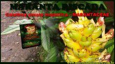 Natureza - Planta de Vaso e Jardim - Maranta Riscada - Calathea ornata m...